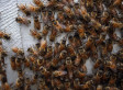 Infected 'Zombees' In San Francisco May Help Scientists Understand Honey Bee Decline