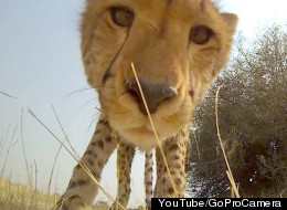 Why Did The Cheetah Lick The Camera?