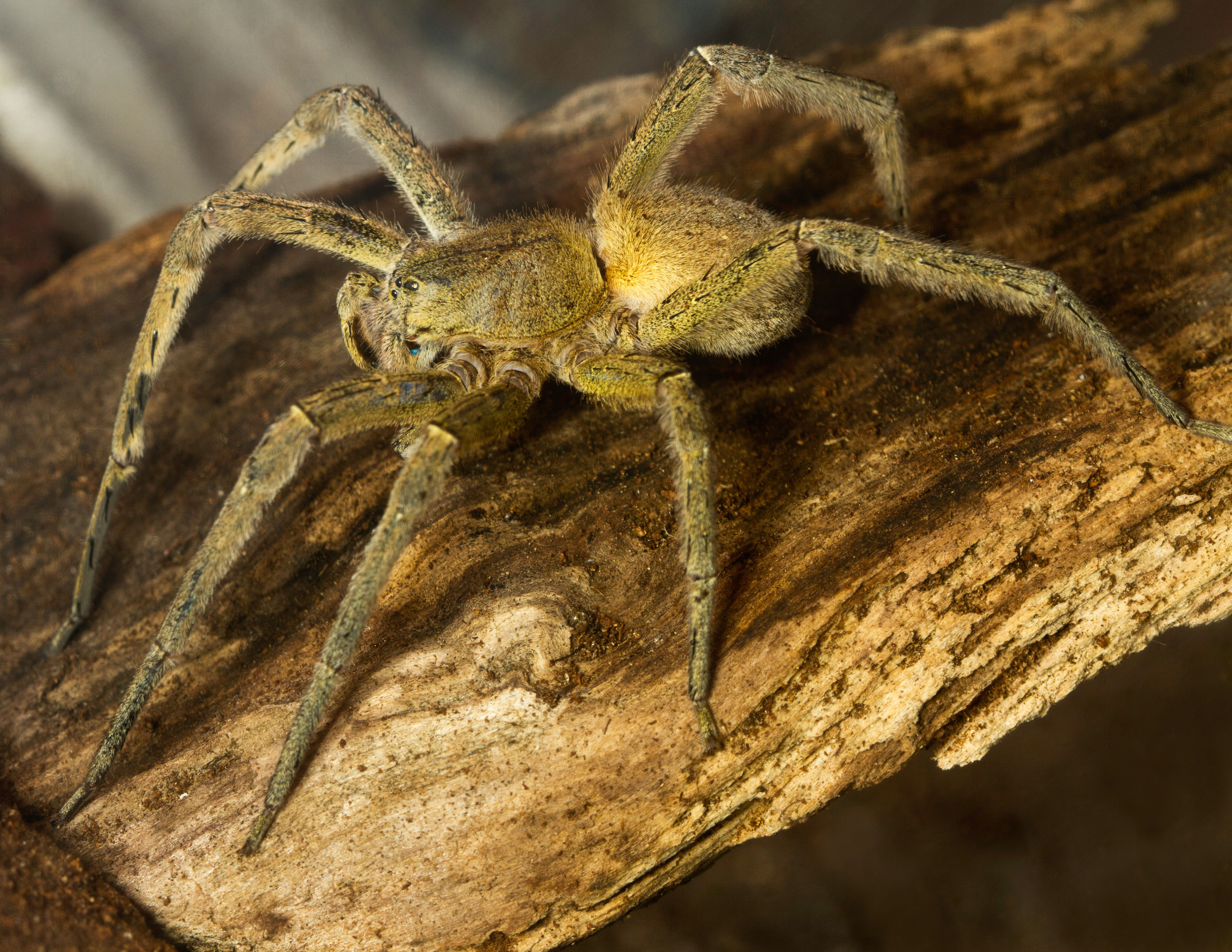 Dangerous Spiders In The World Brazilian wandering spider