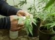 Marijuana Prices: Canada No Longer Cheaper Than U.S.