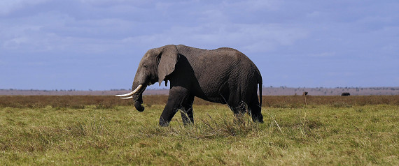 An elephant walks in Amboseli National Park, approximately 220 kms southeast of Nairobi, Kenya on October 7, 2013.