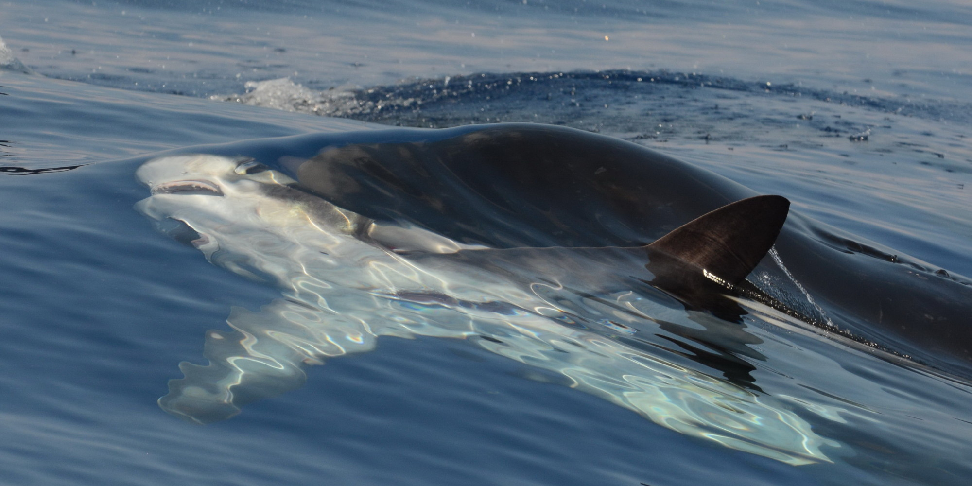 Killer Whales Spotted, Tagged Off Hawaii Island For First ...