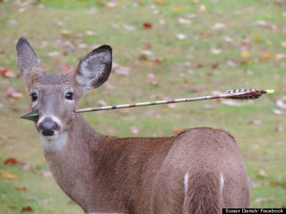 deer with arrow in head