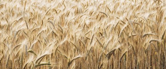 blé problèmes digestion santé gluten