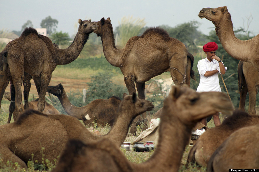 indian camel herder