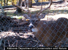 Man Partially Blinded By Pet Deer; Faces Charges