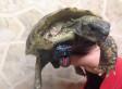 Schildi, Abandoned And Disabled Tortoise, Gets Lego Wheel Prosthetic Leg (PHOTO, VIDEO)