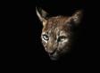 Wildcat Attack At WildCat Haven Kills 1 Employee