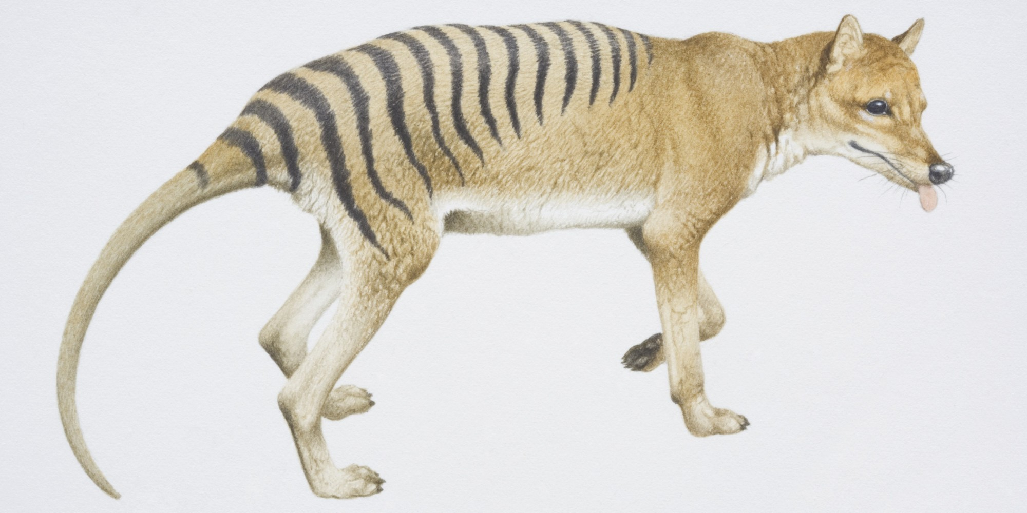 Is Tasmanian Tiger Really Extinct? Zoologists Have Their ...