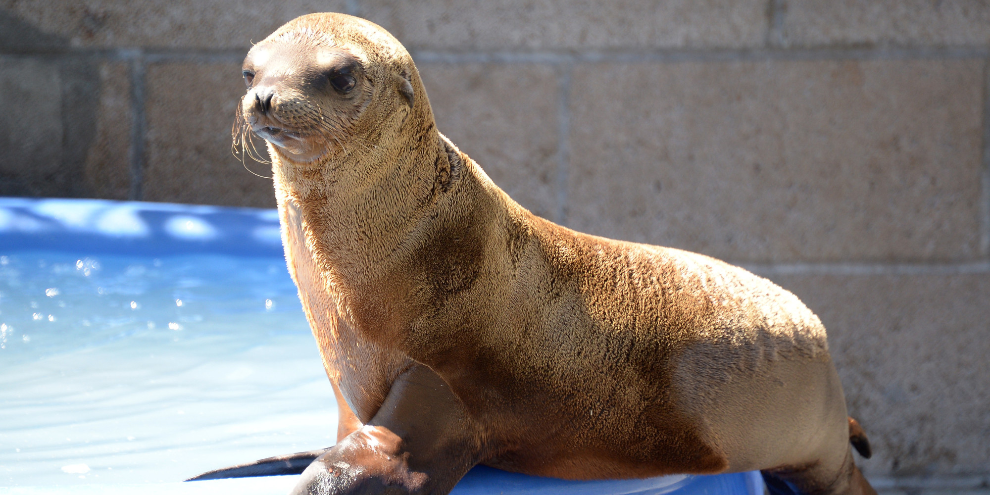 Sea Lion Found Shot On California Beach Sadly Not The First