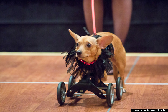 Kangaroo Dog, Picture Of Array : Victory, The Fearless Disabled 'Kangaroo Dog,' Will Brighten Your ...: Victory, The Fearless Disabled 'Kangaroo Dog,' Will Brighten Your ...