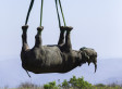 Rare Black Rhino Dangles From Helicopter In South African Breeding Relocation Drive (PICTURES)