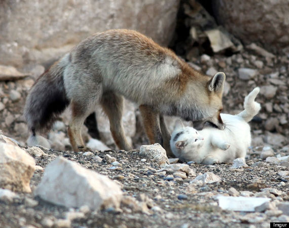 fox cat friendship