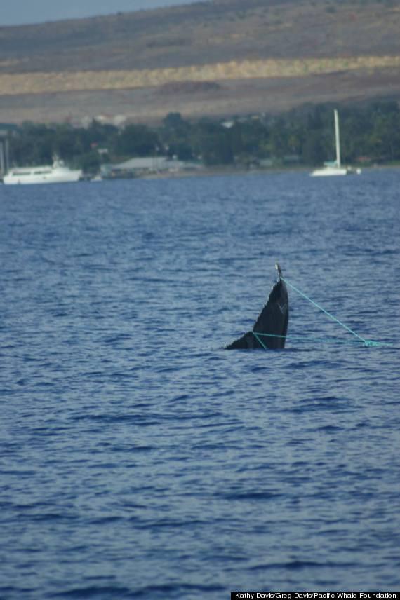 maui fishing line whale