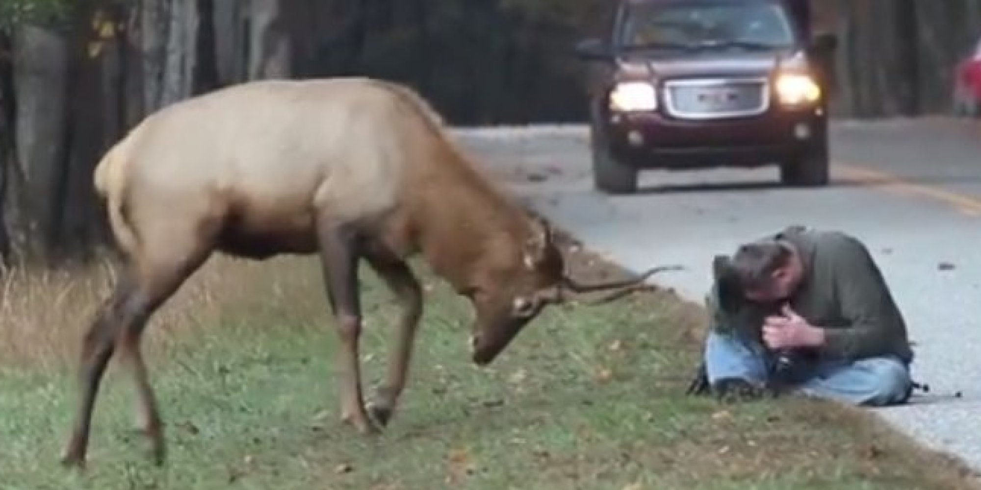 Elk Tries To Tangle Ho...