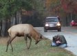 Elk Tries To Tangle Horns With Photographer (VIDEO) (UPDATE)