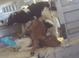 Undercover Video Alleges Shocking Animal Abuse Of Newborn Calves At Colorado Facility