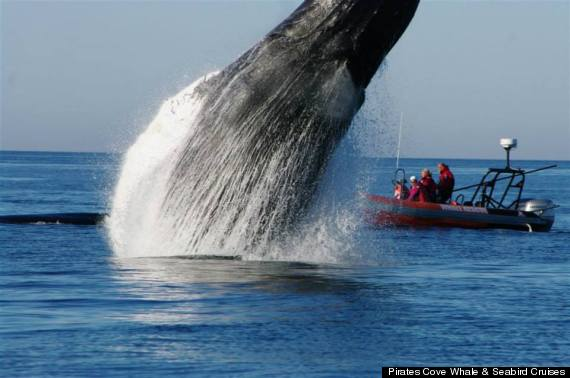 Amazing whale dolphin and sea lion rescues show the tragedy of a california gray whale dragged a fishing net for a week before rescuers found the distressed cetacean thecheapjerseys Choice Image