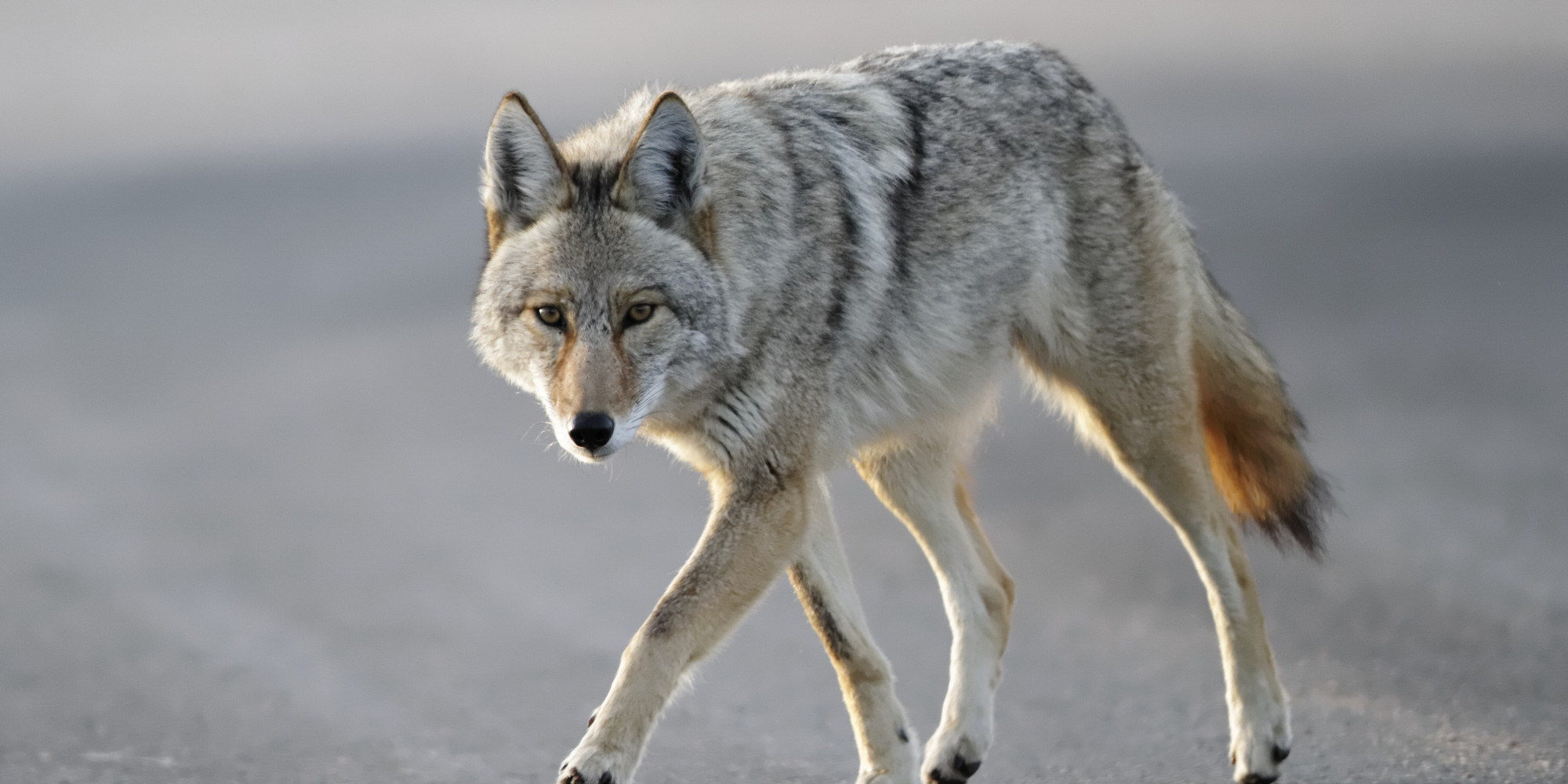 Vancouver Coyote Sightings On The Rise