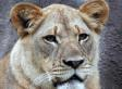 Lion Kills Lioness In Attack At Dallas Zoo That Stuns Visitors