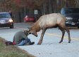 Sad End For Famous Elk That Head-Butted Photographer In Viral Video