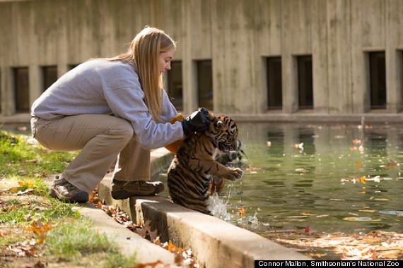 tiger swim test