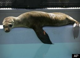 Sea Lions Killed For Eating Salmon