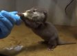Baby Otter Drinking Milk From A Syringe Is Redefining What It Means To Be Cute (VIDEO)