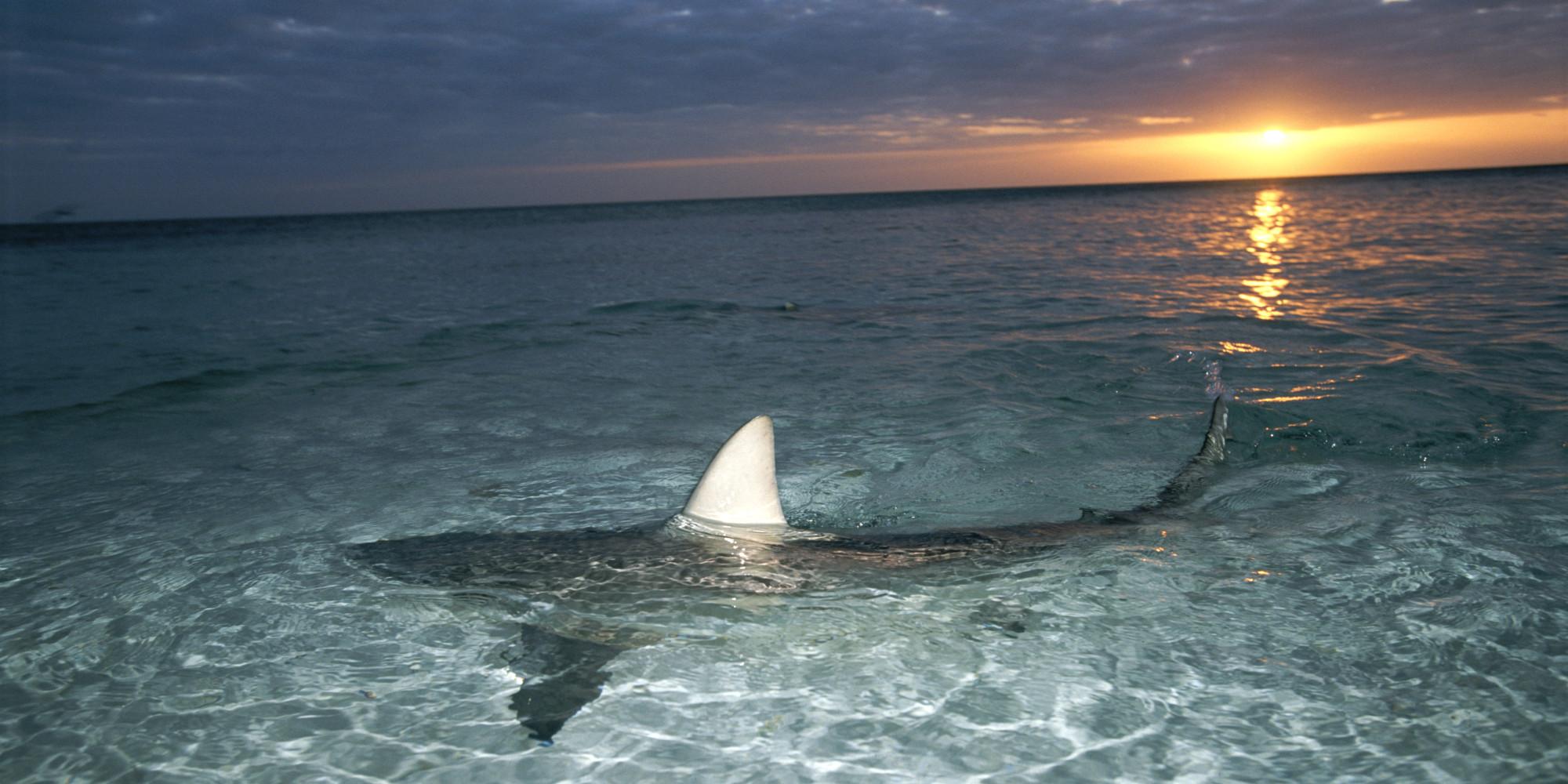 Baby black tip reef shark - photo#13
