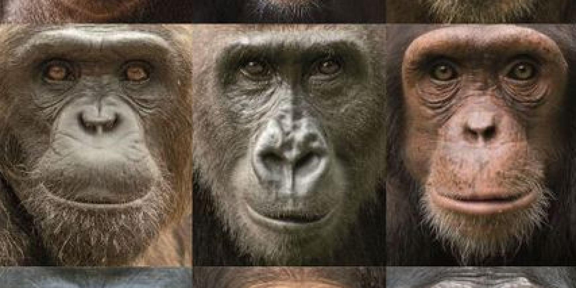 Chimps Monkeys A Go Go
