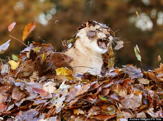 lion leaves