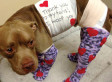 Pit Bull Strapped With Fireworks Makes Remarkable Recovery (PHOTO)