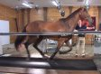 Horse On A Treadmill Is Weird And Majestic All At Once (VIDEO)