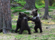 Bear Cubs Play 'Ring Around The Rosie,' And We All Fall Down From Cuteness Overload (PHOTOS)