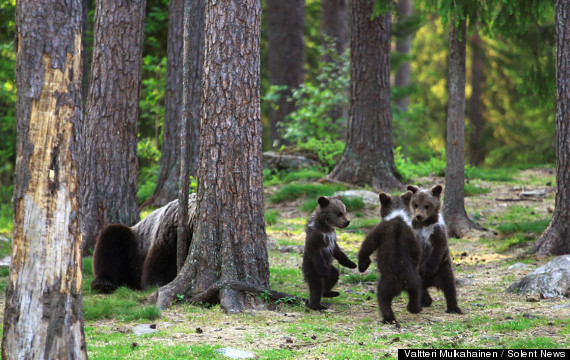 Bear Cubs Play 'Ring Around The Rosie,' And We All Fall ...