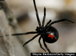 What Does It Feel Like to Be Bitten By a Black Widow Spider?