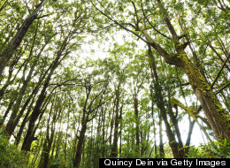 FOR SALE: Ancient Hawaiian Cloud Forest Could Be Preserved.. Or Harvested