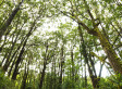 Ancient Koa Forest For Sale On Hawaii's Big Island