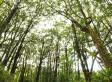 Ancient Koa Forest For Sale On Hawaii's Big Island
