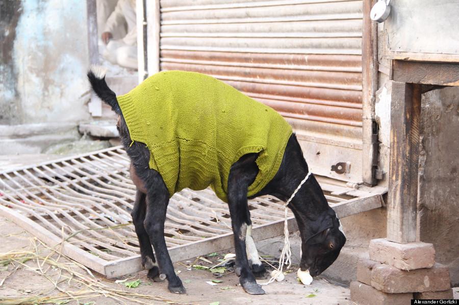 goat sweater