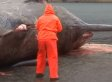 Sperm Whale Explodes In Stomach-Churning Clip From Faroe Islands (GRAPHIC VIDEO)