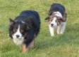 These Sneaky Border Collies Are Tip-Toeing Their Way Into Our Hearts (VIDEO)