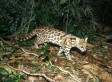 Oncilla Cats In Northeastern Brazil Belong To Separate Species, Scientists Discover