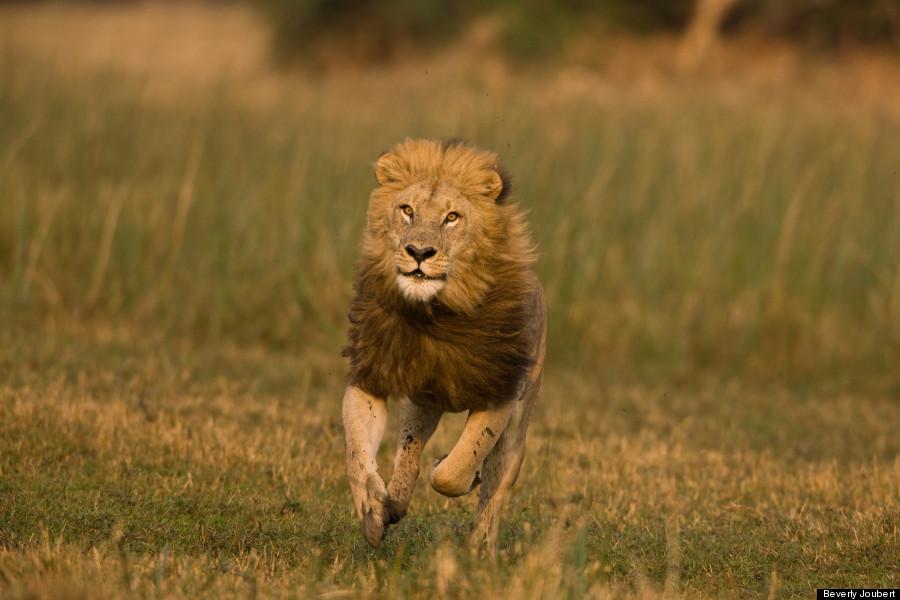 草原を駆けるライオン