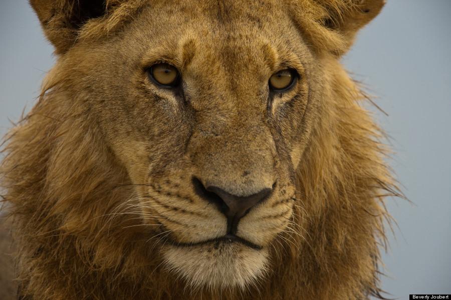 lion12