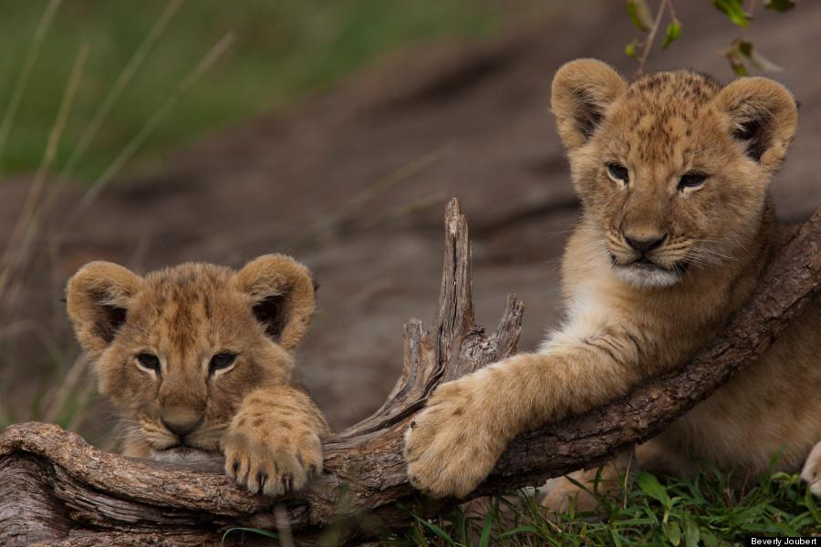 lion13