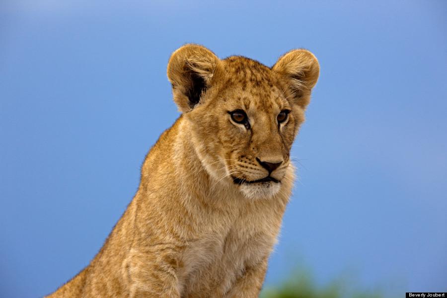 Lion sitting profile - photo#10