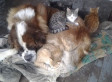 Yankee The Giant Saint Bernard Snuggles With Stray Kittens To Keep Them Warm At Night (PHOTO)