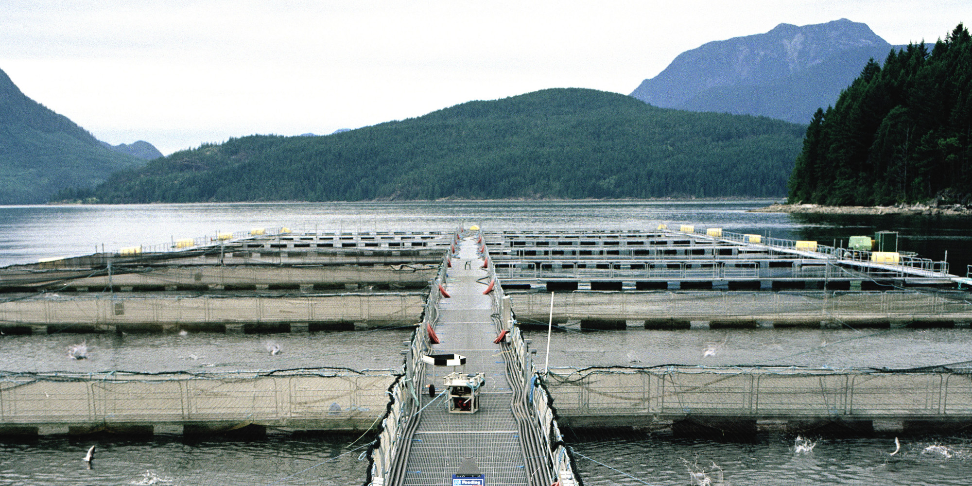 B c fish farms to continue to breed atlantic salmon for Fish farms in california