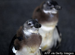 PHOTOS: Baby Penguins Greet The World